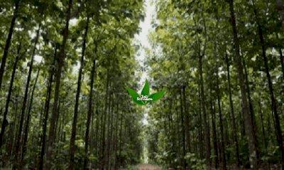 Asal Usul Adanya Hutan Jati di Indonesia